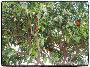 Mandarīni un apelsīni tiešām aug kokos, turpat uz ielas. Apelsīnu nenogaršojām, bet toties mandarīnu gan. Nebija garšīgs, ar biezu mizu un iekšā rūgts, kā mandarīnu sēkliņas... Labāk pirkt veikalā, nospriedām! ;)